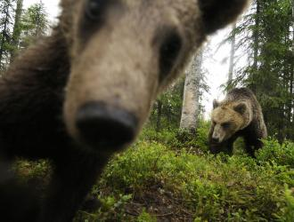 See bears in their natural home
