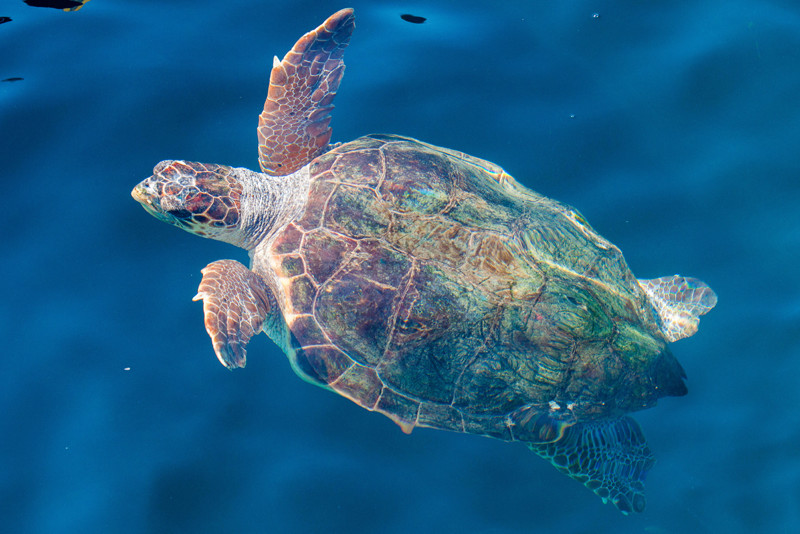 loggerhead sea turtles around Gulf of Naples
