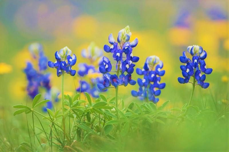 Bluebonnet flowers