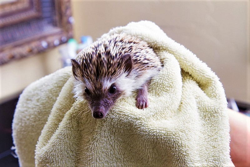 hedgehog in towel
