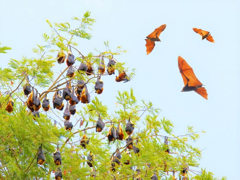 Fruitbats in tree