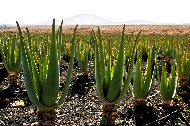 Aloe Vera Canary Islands
