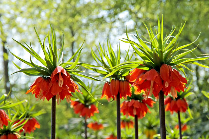 Fritillaria Imperialis, Turkey Flower