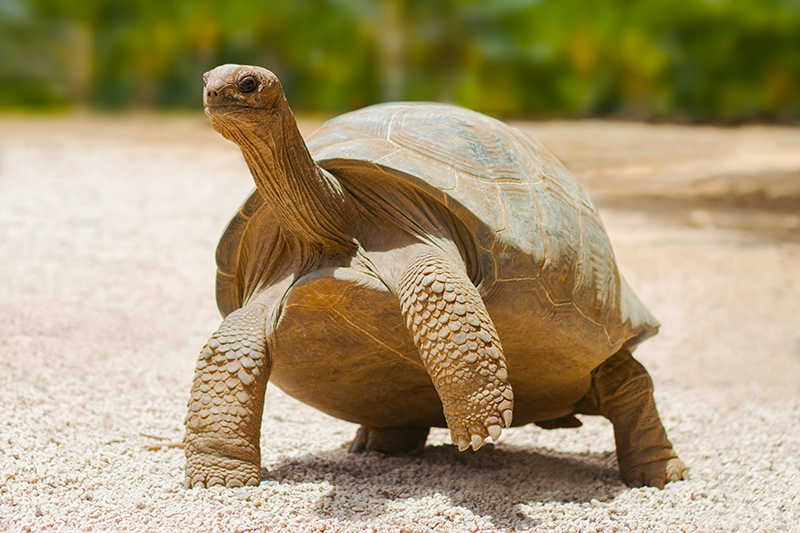 giant grey tortoise in Mauritius