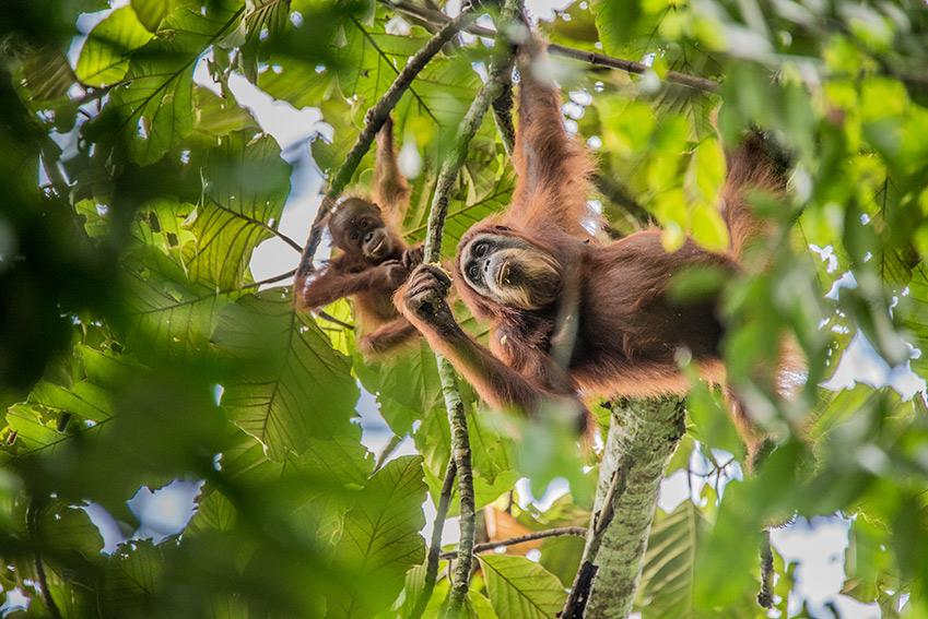 Orangutan Plant earth