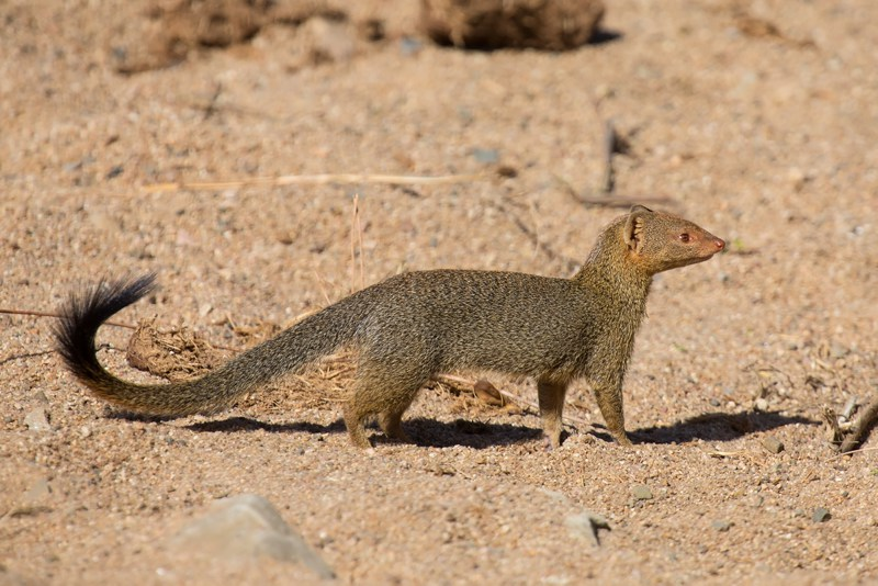 Mongoose Barbados
