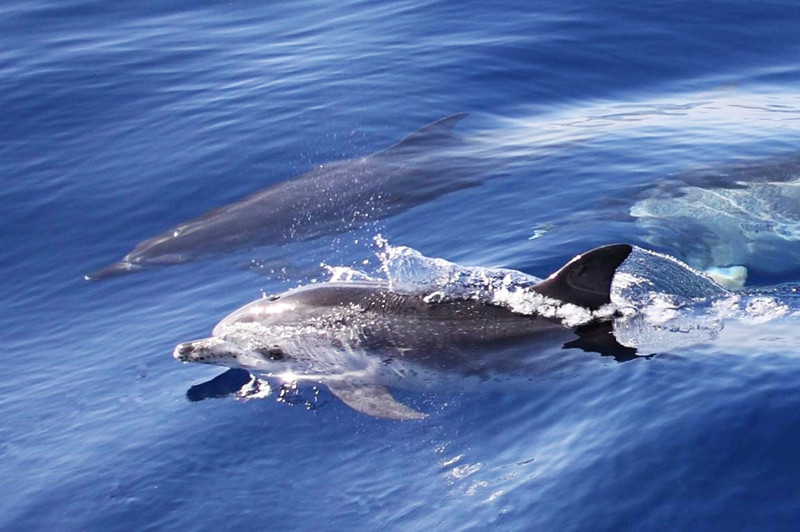 Dolphins Facts About Greece Wildlife
