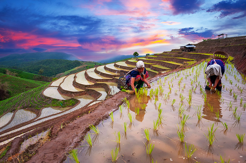 Philippines rice fields feature