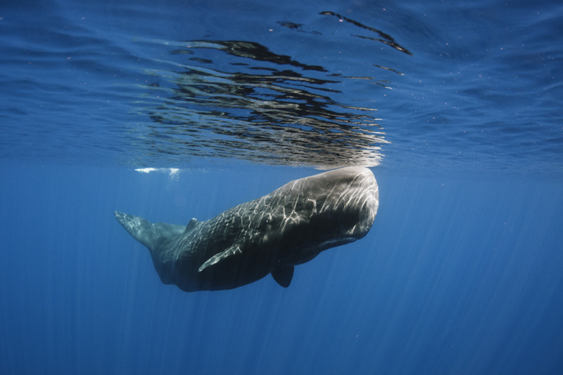 Sperm Whale in Madeira
