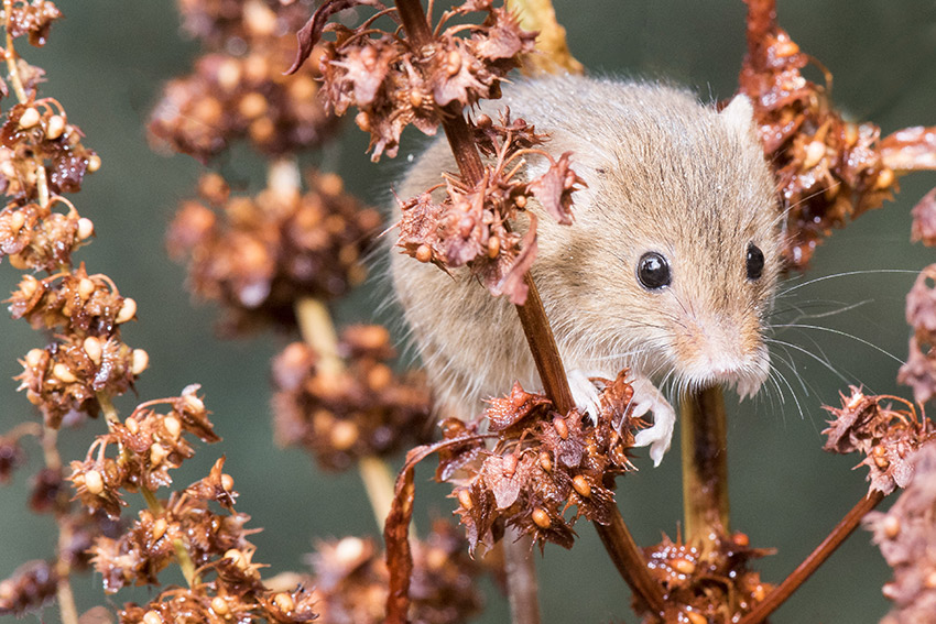 Harvest mouse planet earth