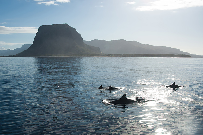 Seascape background with dolphins in Mauritius