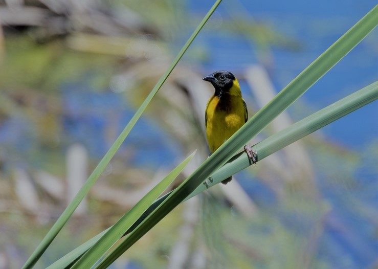 Black-headed Weaver spotted at Ria Formosa Nature Park, Algarve, Portugal.