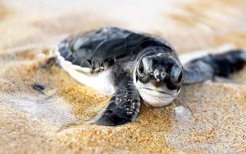 Hatching baby turtle in Cape Verde