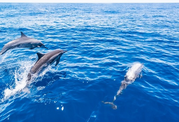 dolphin watching in Tenerife