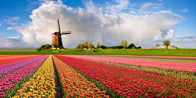 Holland the Netherlands Windmill Tulips