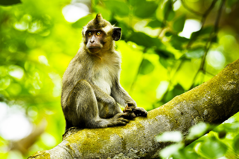 Macaque in the wild