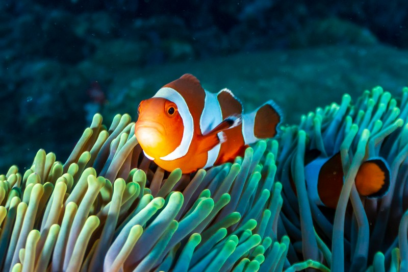 Clown fish in the Caribbean coral reef