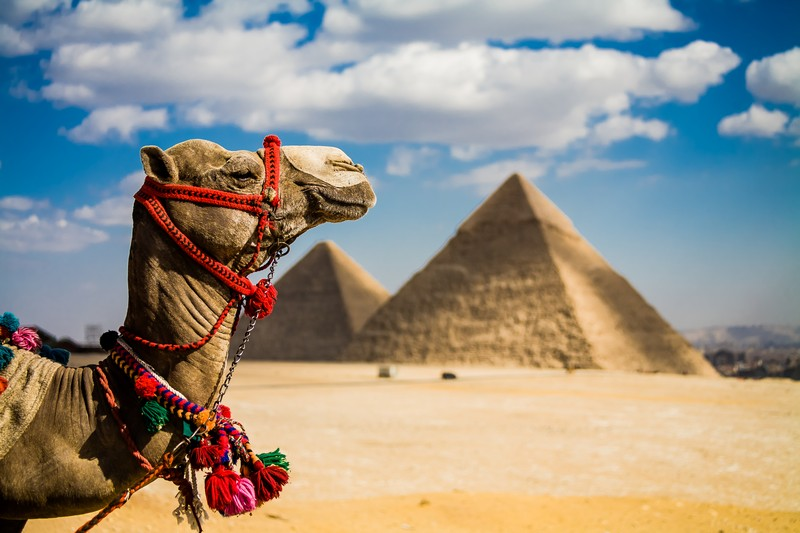Camel in front of the pyramids in Egypt.