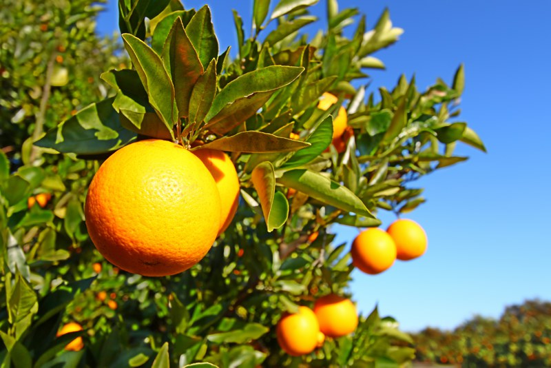 Oranges growing in Florida