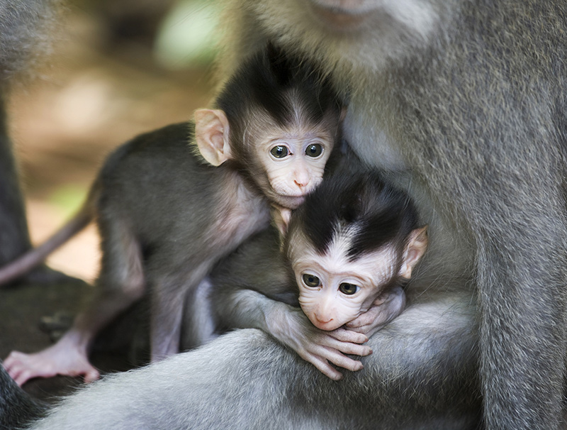 Twin baby monkeys