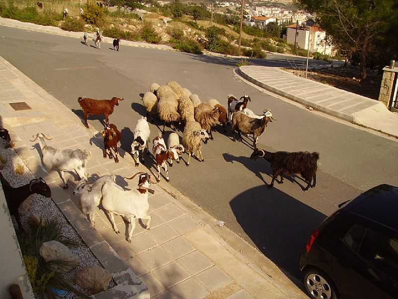 Villa in Cyprus, Peyia: Local Goats On Their Evening Walk By The Villa 2012